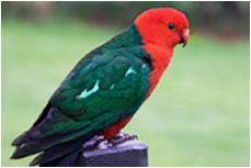 Grevillea Rise King Parrot