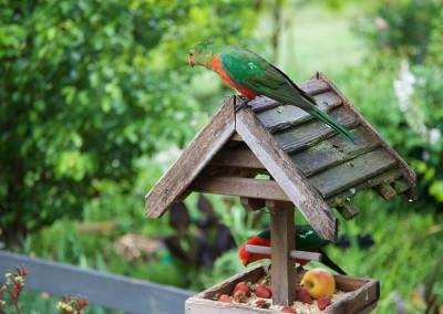 Grevillea Rise Parrots